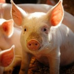 pig picture iStock_000007607059Small