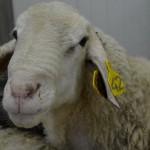 sheep (Small)